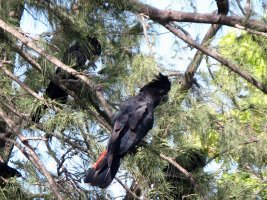 Red-tailed Cockatoo - Rødhalet Ravnekakadu