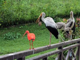 Yellow-billed stork and Scarlet ibis - Afrikansk skovstork og rød ibis