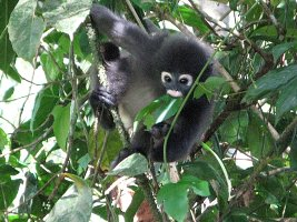 Dusky Leaf Monkey - Brillelangur
