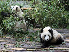Giant Panda Breeding Research Centre