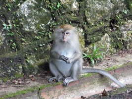 Long-tailed Macaque - Langhalet Makak