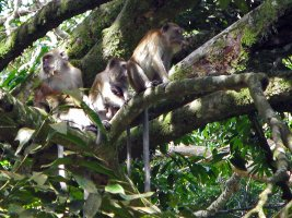 Long Tailed Macaque - Langhalet Makak
