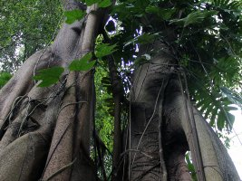 Singapore Botanic Gardens: Rainforest Walk