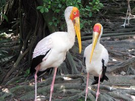 Yellow-billed stork - Afrikansk skovstork