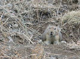 Yolyn Ann (Ice Canyon): Pika